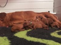 Multi Champ Sired Dogue de Bordeaux puppies
