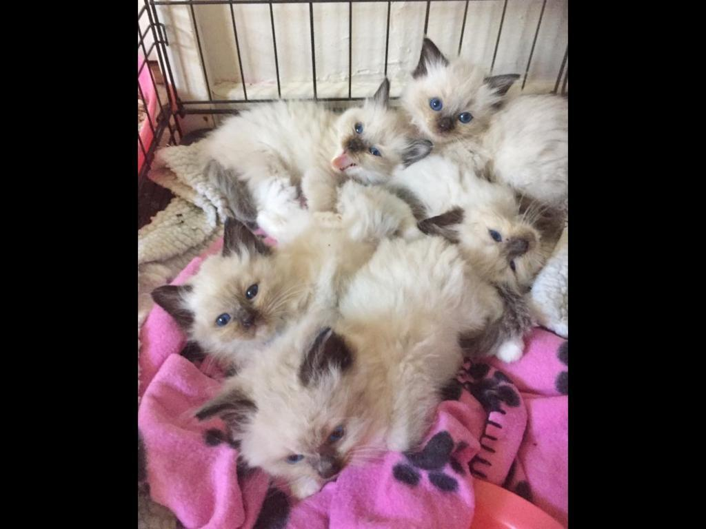 Ragdoll kittens only 2 boys left available to reserve