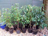 portuguese laurel hedging plants x10