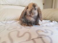 Pure Bred Mini Lop Bunnies for sale