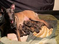 Belgian Malinois Puppies (pure blood Malinois)