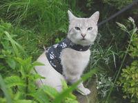 Cat missing/stolen/lost Cream coloured