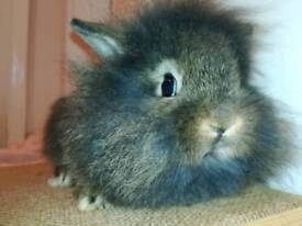 Two lionhead cross Netherland dwarf buck (boy) bunnies