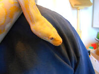 Female Dwarf Albino Lavender Reticulated Python