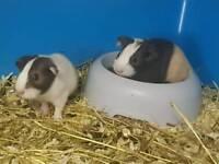 Guinea pigs baby