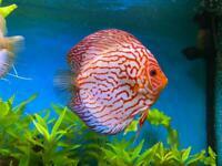 9 Stendker Discus for Tropical Fish Tank Aquarium