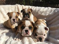 Adorable KC Reg British Bulldog Puppies Ready Now Wirral