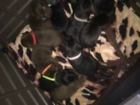 Patterdale terrier puppy's for sale