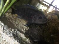 African cichlids n