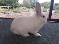Lionhead x lopeared rabbit