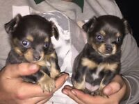 £700 Tiny chihuahua puppies
