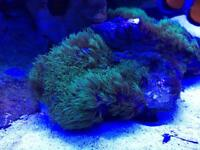Marine coral green star polyps (sold pending collection)