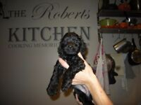 Cockerpoo puppy,,,( boy ) Ready to go now,
