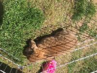 Beautiful girl lop eared bunny for sale £30