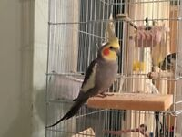 Pair cockatiel comes with 2 tier cage and nesting box and food tray