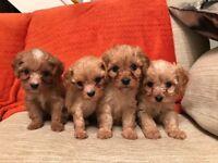 Stunning F1 Cavapoo Puppies