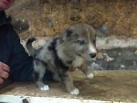 Gsd x blue merle collie pups