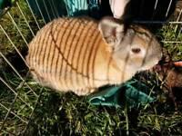 Mini lop cross rabbit baby