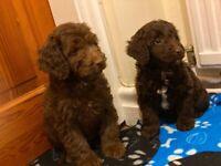 CHOCOLATE AND BLACK F1 cockapoo puppies