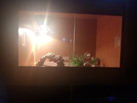 Leopard gecko with 2ft vivarium