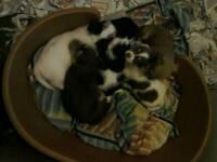 Jack Russell x mini Yorkie puppies.