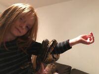 Royal Python hand reared
