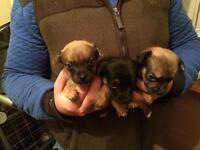 Chroky puppy's