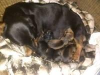 Standard dachshund puppies