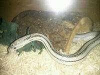 Anery stripe Corn snake with full set up