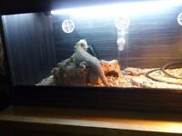 Bearded dragon 1 year old very tame selling i dont have time he needs
