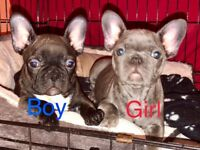 QUALITY FRENCH BULLDOG PUPPYS READY TO LEAVE NOW