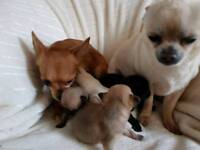 Chihuahua 4 puppies boy looking for new forever home