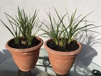 9 x Yucca plants in two large pots