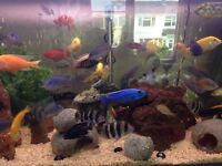 Fish for sale. African lake Malawi and Tanganyika cichlids. Good size and excellent health