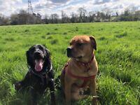 Mastiff X Rottweiler