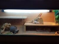 female bearded dragon viv and accessories