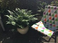 Beautiful fern plants for sale in a big pot.