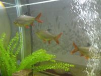 Three Tinfoil Barbs for sale COLLECTION ONLY