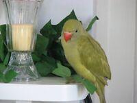 Wonderful Olive Green 12wks Ringneck Parrot