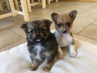 Chorkie pups