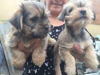 Yorkshire x Border Terrier Puppys