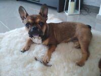LOW PRICE!! French Bulldog Female puppy