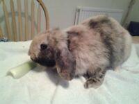 Mini lop rabbit male