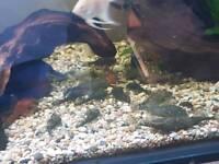 Mix sized bristle nose plecs tropical fish