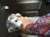 3 months old ferret looking for a new home