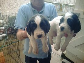 4 b/w ESS dog pups out of a litter of 8