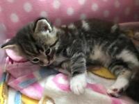 3 tabby kittens for sale!