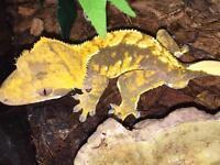 Crested gecko (adult) and exo terra vivarium