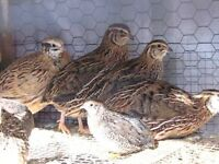 I have good quail eggs for sale