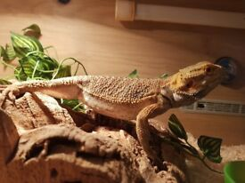 Bearded Dragon with set up